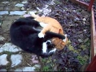 Epic fight between crazy cats